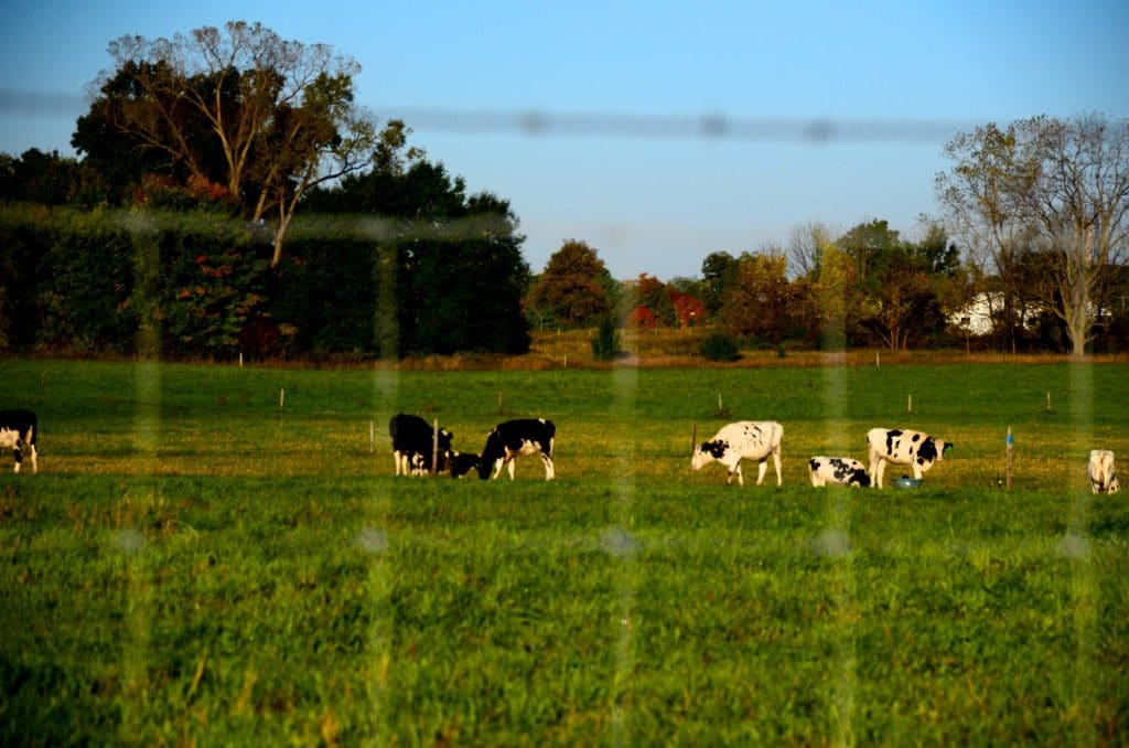 Cows in the field at MSU, Maureen Abood