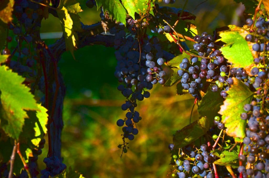 Grapes at MSU, Maureen Abood